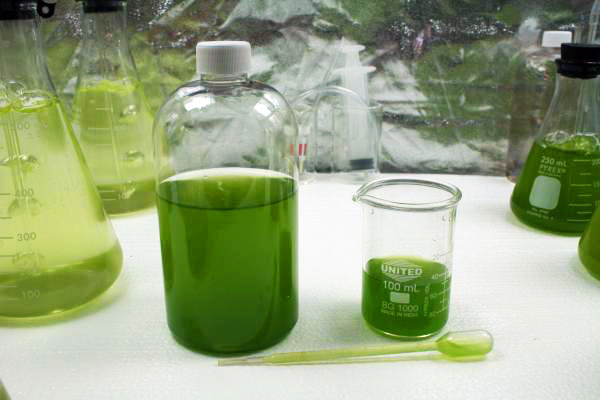 algae research essay Algal research is an international phycology journal covering all areas of emerging technologies in algae biology, biomass production, cultivation, harvesting, extraction, bioproducts, biorefinery, engineering, and econometrics algae is defined to include cyanobacteria, microalgae, and protists and symbionts of interest in biotechnology.
